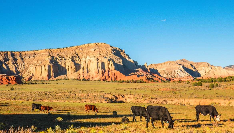 Paysage de l'Utah avec la roche rouge et les vaches