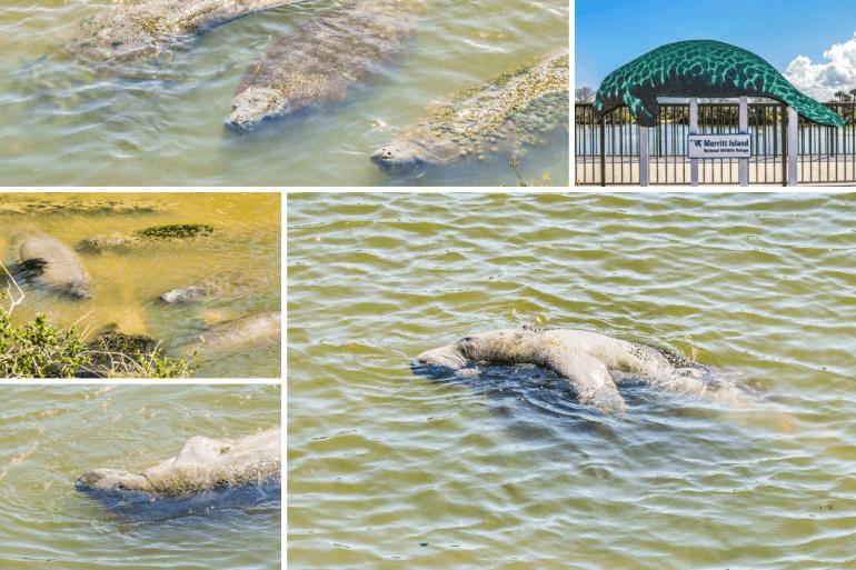 Observer les lamantins en Floride