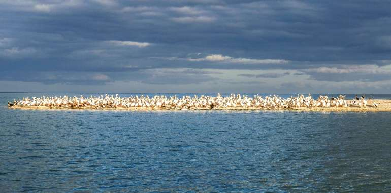 Pélicans aux Ten Thousand Islands