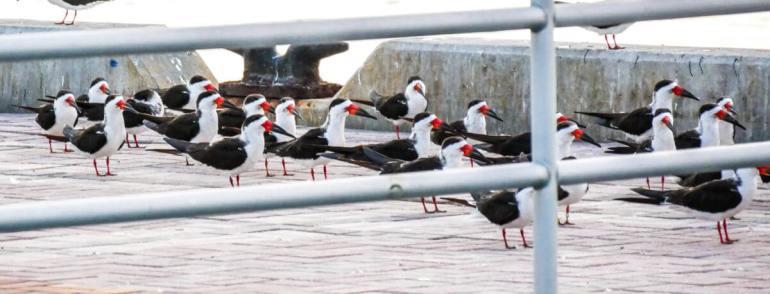 Oiseaux à Key West