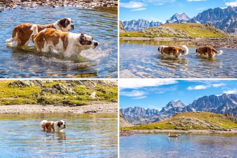 Bain des chiens au Pays du Saint-Bernard