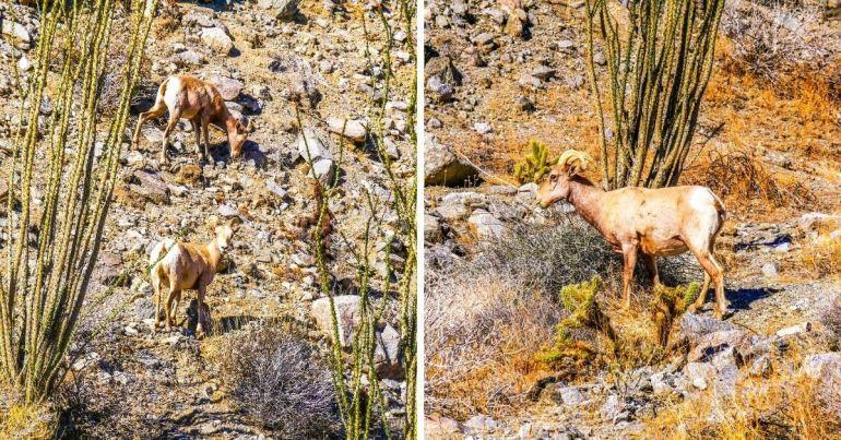 Mouflons bighorn Anza Borrego Californie
