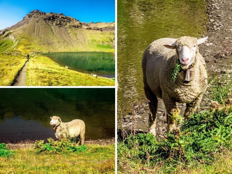 Schilthorn moutons Grauseeli