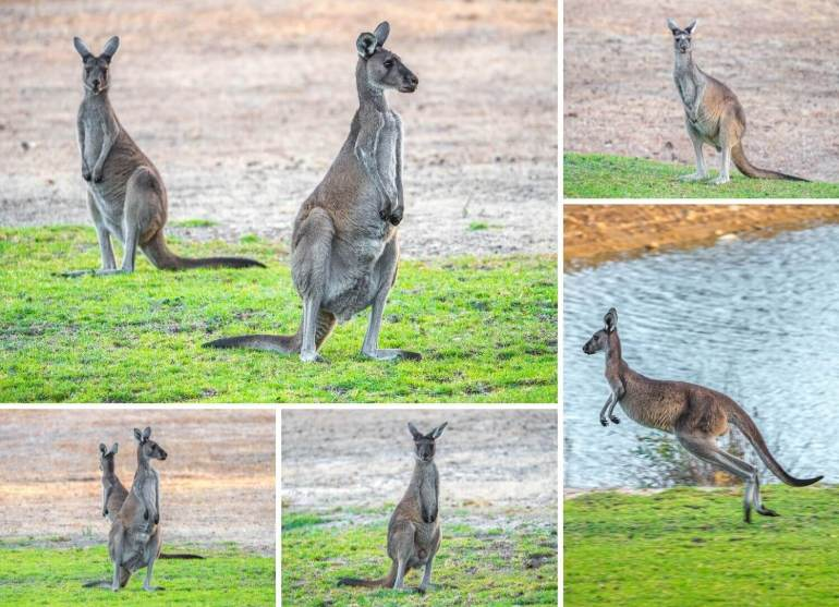 Kangourous côte ouest Australie