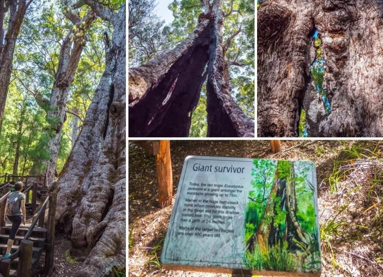 Walpole Forest Giant survivor côte ouest Australie