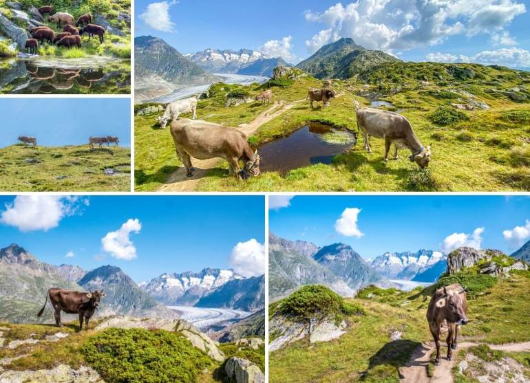 Vaches et moutons Aletsch week-end Valais