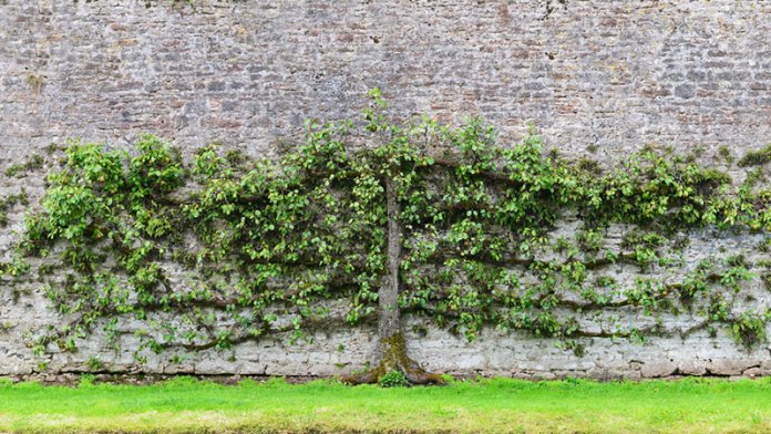 Pear Tree Espalier