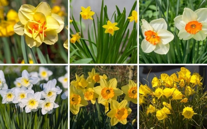 different types of Daffodils