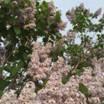 5月後半、札幌でよく見かける花