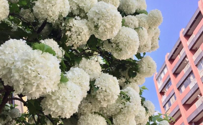 6月中旬、札幌で見かけた花 2017