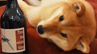 【世界初】ニューヨークにワインソムリエの柴犬が現る!