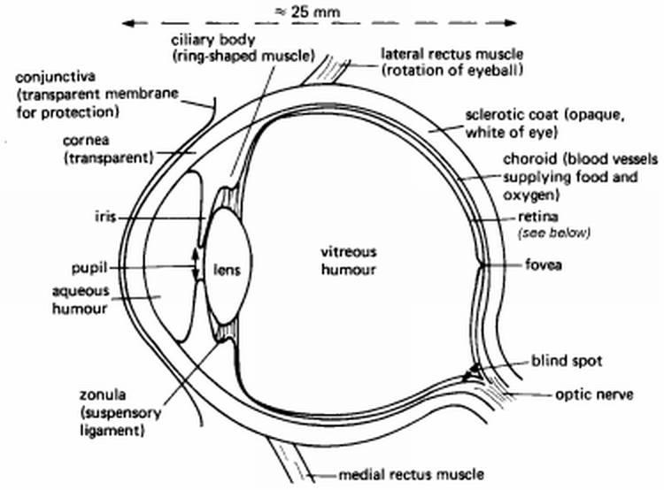 human eye diagram blind spot polaris warn winch wiring visual illusions 1 the vanishing head illusion onionesque reality horzontalsectionofrighteye