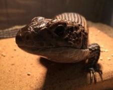 ペット初心者だけど爬虫類のオニプレートトカゲを購入!