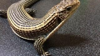 ①オニプレートトカゲを飼いたい爬虫類初心者さんへのQ&Aを公開!【触れ合い】