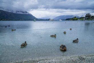 lake_wanaka_ducks