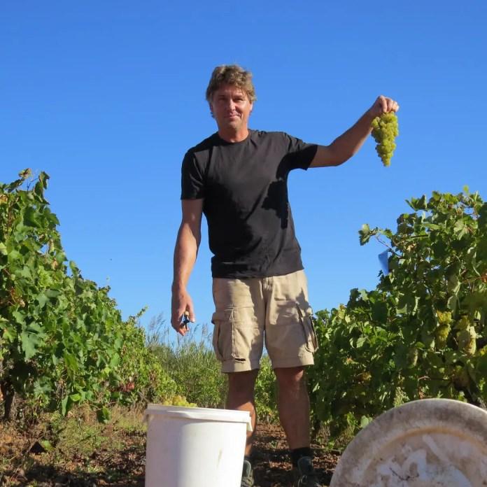 Vita vinet är först ut i skördetid.