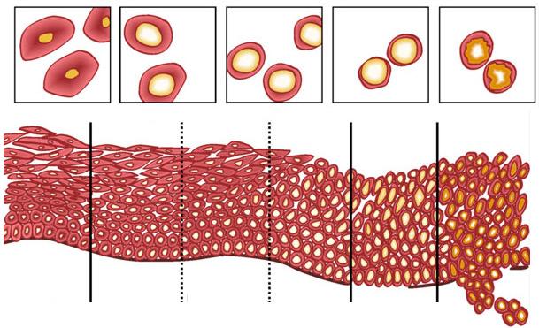 Liečba papilomavého typu 16