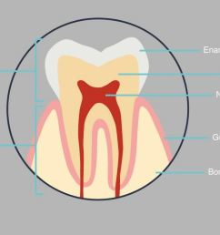 the outermost layer is called enamel and the layer below is called dentine the innermost area is called the pulp or nerve of the tooth tooth diagram [ 1646 x 674 Pixel ]