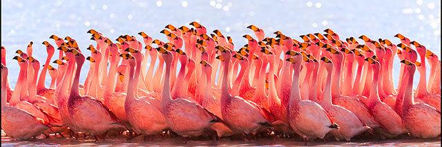 Bolivian-Flamingos