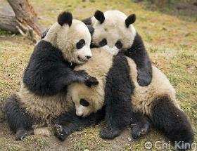 Panda-Group