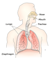 respiratory system for kids