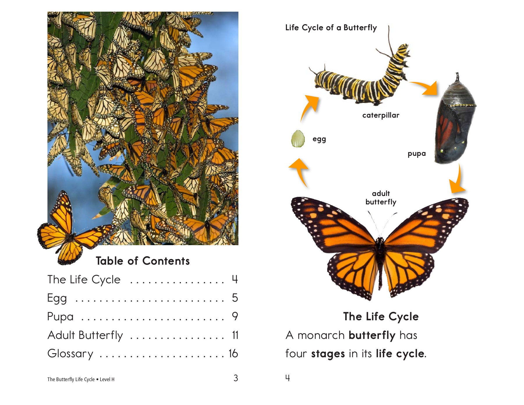 Luthfiannisahay Butterfly Life Cycle Explanation Text