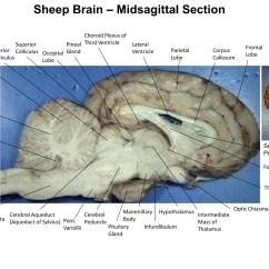 Lateral View Sheep Brain Diagram Strategic Planning Framework Fornix Midsagittal Topsimages