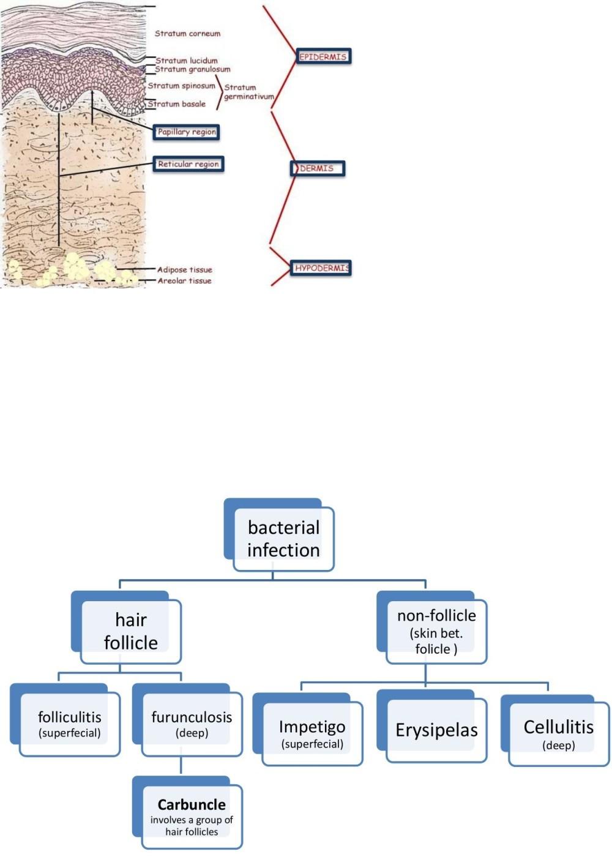 medium resolution of carbuncle diagram