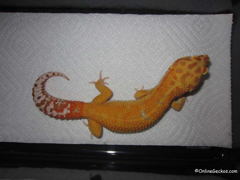 Our Leopard Gecko Collection And Breeders