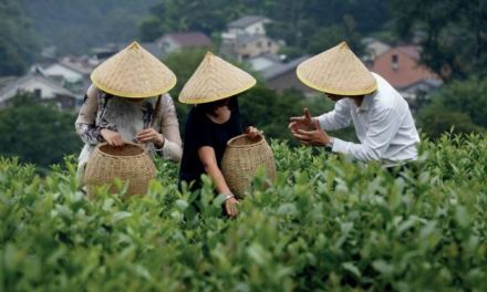 CELEBRATE THE LONGJING TEA SEASON WITH FOUR SEASONS HOTEL HANGZHOU AT WEST LAKE