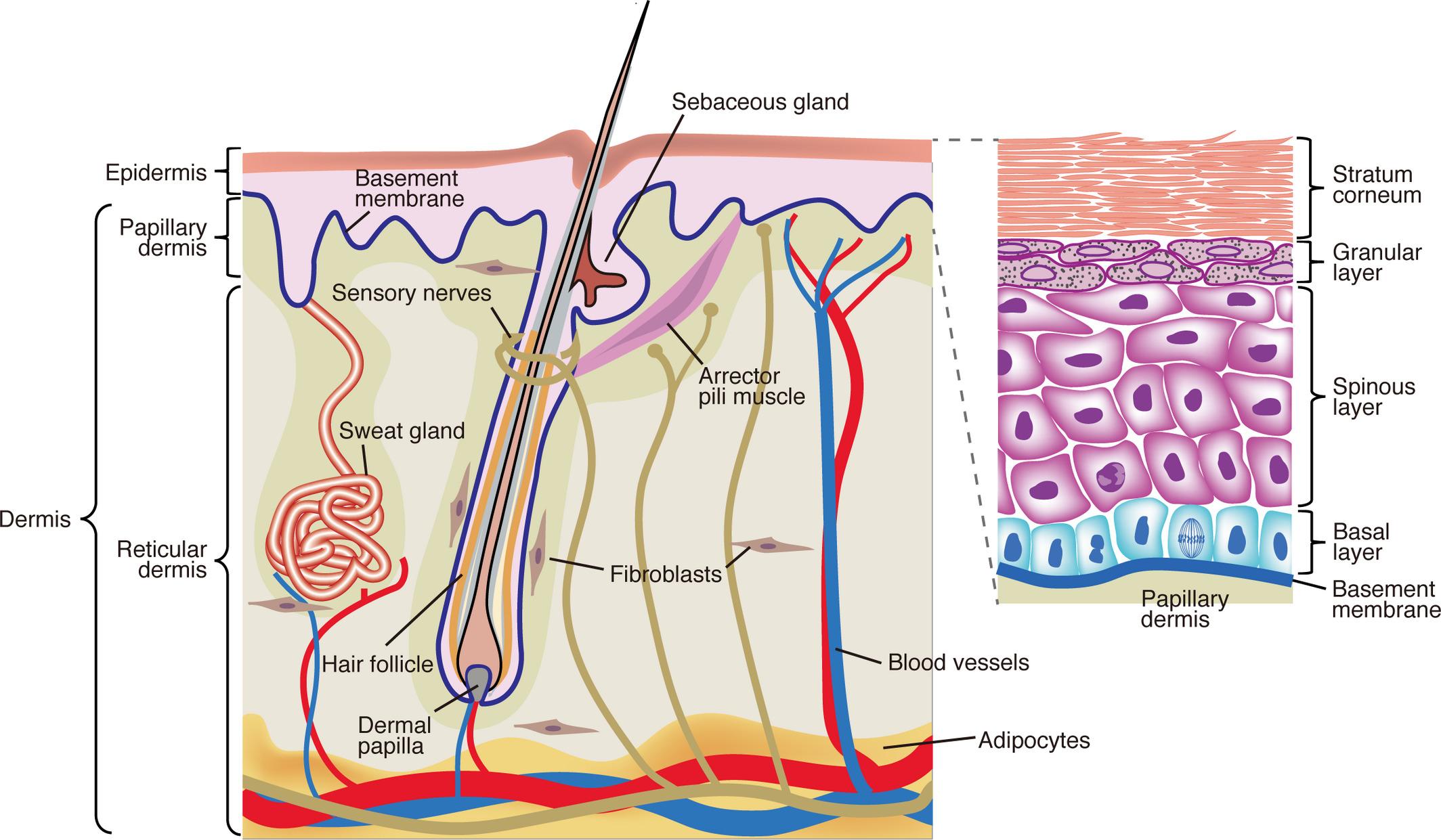 Multi Tasking Epidermal Stem Cells Beyond Epidermal