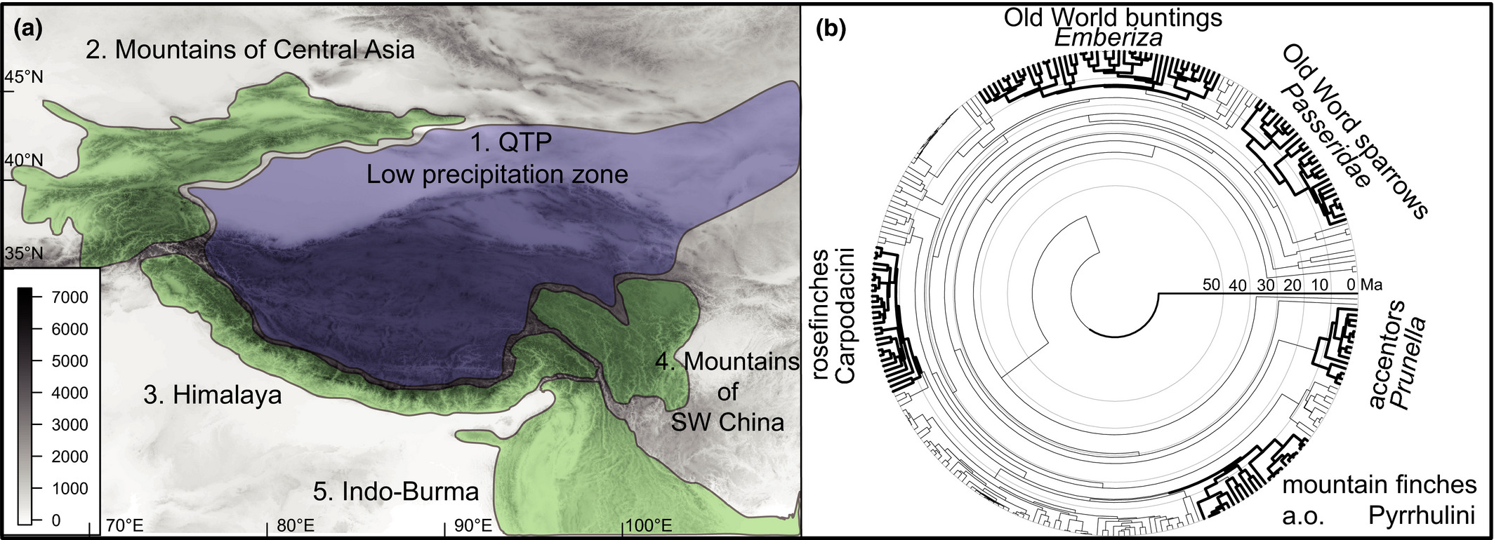 "Himalaya Halle Into And Out Of"" The Qinghai‐tibet Plateau And The Himalayas: Centers Of Origin And Diversification Across Five Clades Of Eurasian Montane And Alpine Passerine Birds - Päckert - 2020 - Ecology And"