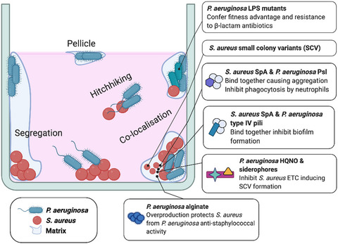 Friends or enemies? The complicated relationship between Pseudomonas aeruginosa and Staphylococcus aureus - Yung - - Molecular Microbiology - Wiley Online Library