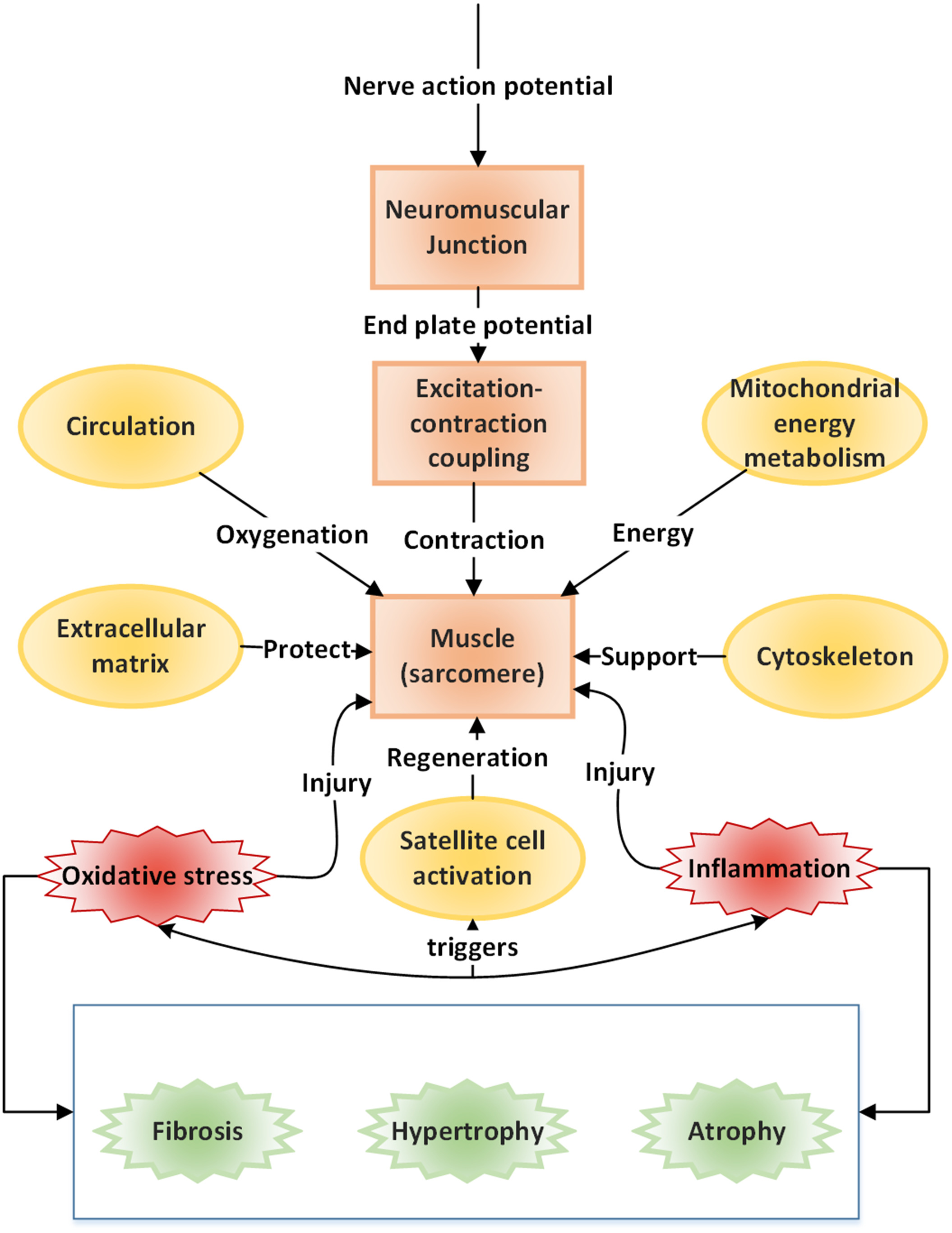 Skeletal Muscle A Review Of Molecular Structure And