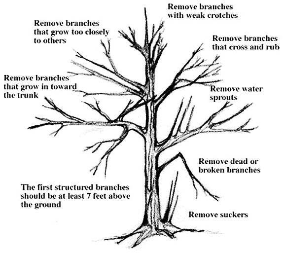 Roadside Vegetation Management Manual: Pruning Guidelines