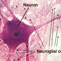 Labelled Diagram Of Nerve Cell Cat5 Extension Cable Wiring Structure And Types Neuron (the Nervous Tissue) - Online Science Notes