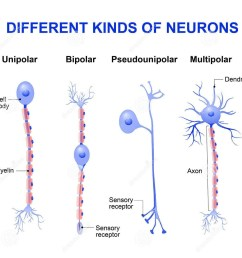 unipolar or pseudo unipolar neuron in such neurons single process arises from the cyton or cell body and bifurcates to form axon and dendrite  [ 1203 x 1159 Pixel ]