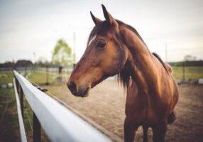 animal-brown-horse-6468 (Copy)