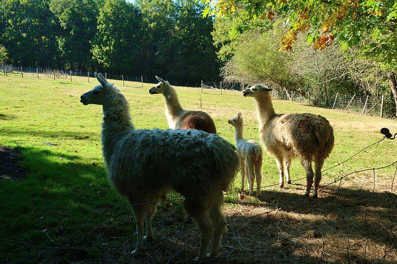 blog lifestyle toulouse lama