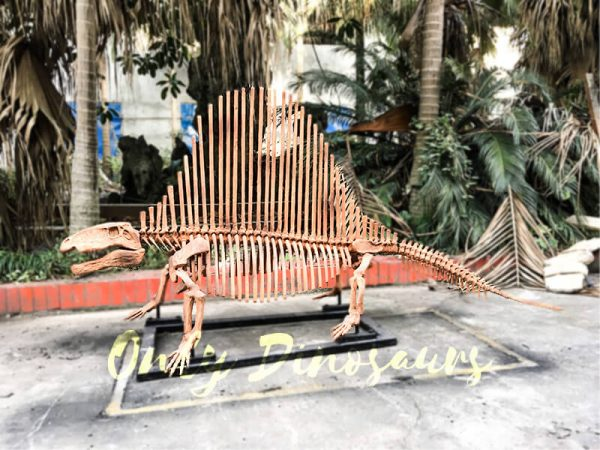 2 Meters Full Dinosaur Fossil Dimetrodon Skeleton for Exhibition1 2