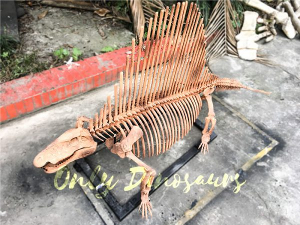 2 Meters Full Dinosaur Fossil Dimetrodon Skeleton for Exhibition4 2