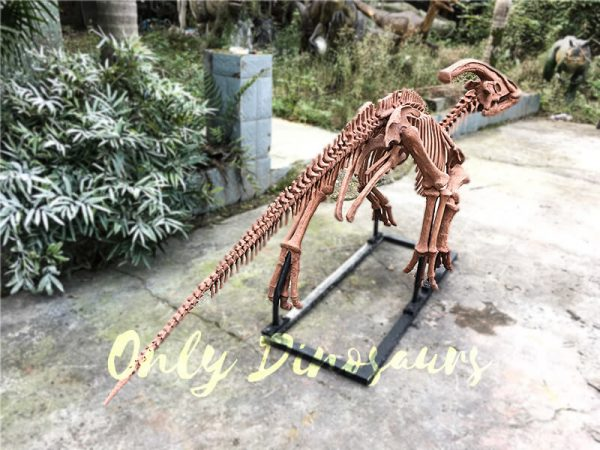Realistic Fossil Parasaurolophus Skeleton for Museum1 1