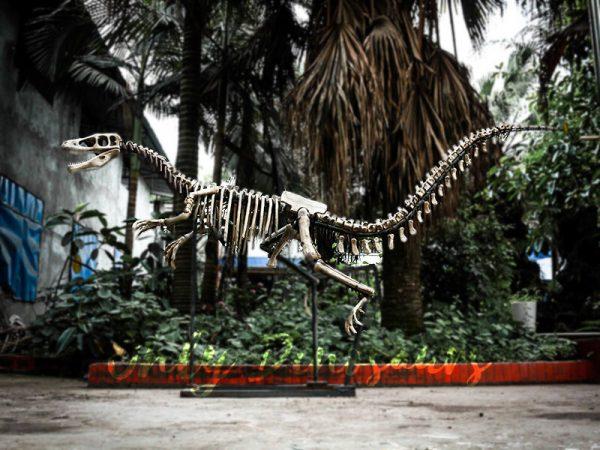 Dinosaur Fossil Replicas Velociraptor Skeleton1