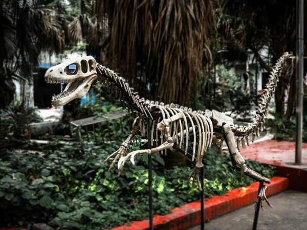 Dinosaur Fossil Replicas Velociraptor Skeleton2