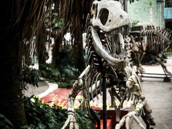 Dinosaur Fossil Replicas Velociraptor Skeleton3