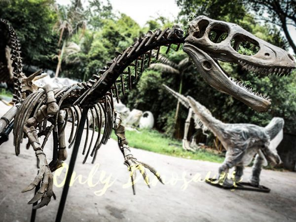 Dinosaur Fossil Replicas Velociraptor Skeleton4