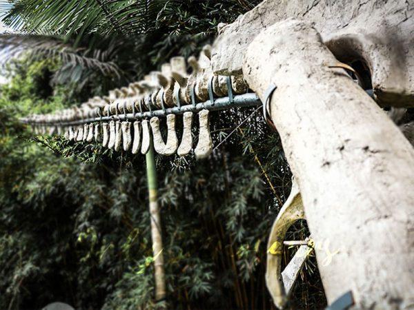 Realistic Tyrannosaurus Dinosaur Skeleton Models4