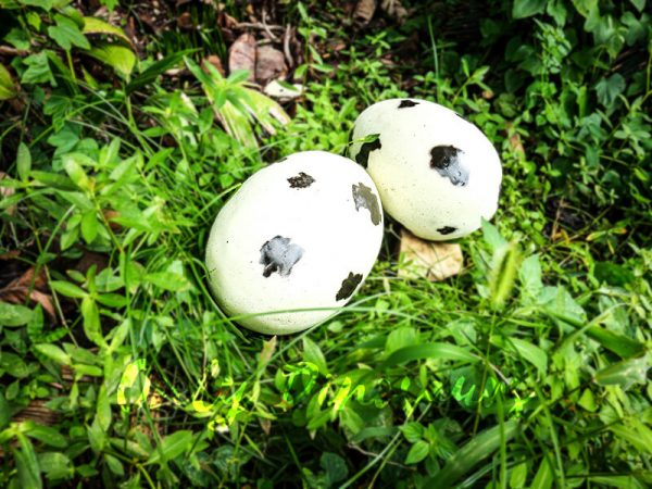 Spot Fiberglass Statue Dinosaur Eggs in pair for sale1
