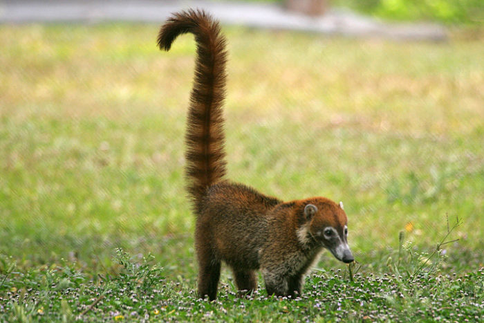Pets-that-look-like-dinosaurs-White-Nosed-Coati