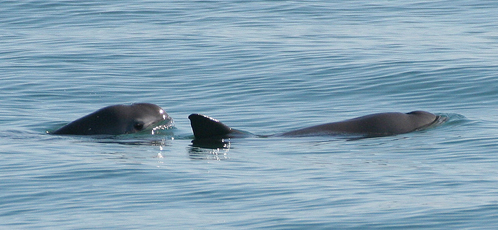 25-Mysterious-Sea-Creatures-That-Are-Bizarre-And-Rare-The-Vaquita